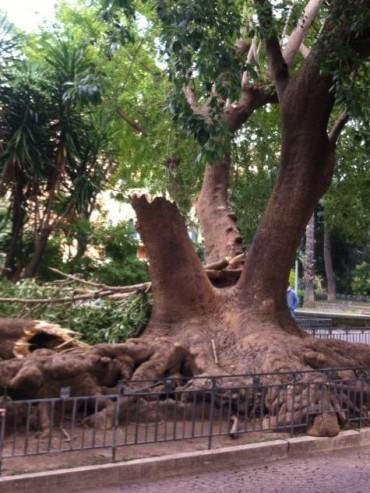 Piazza Lauro, cade albero a causa del vento, un ferito