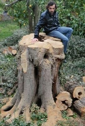 Abbattuto un ulivo di 300 anni nel giardino del museo Correale, insorge il Wwf