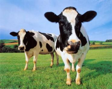 Mucche abbandonate finiscono all'asta