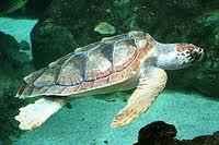 Una tartaruga in difficoltà salvata dagli operatori del Parco di Punta Campanella