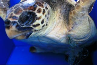 Due tartarughe marine ferite salvate dai pescatori e dagli operatori del Parco di Punta Campanella