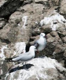 Torna in penisola il raro Gabbiano Corso, uccello che vive solo in un ambiente naturale di qualità
