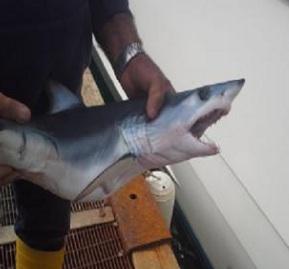 Squalo nella rete da pesca a Massa Lubrense