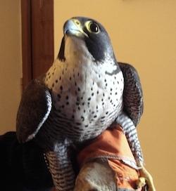 Liberato un falco pellegrino ferito dai bracconieri