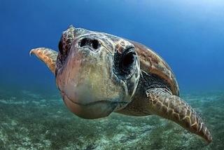 Tornano libere le tartarughe nel parco marino di Punta Campanella
