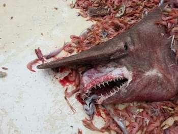 """Messico, pescano per sbaglio un rarissimo squalo """"Goblin"""" di 6 metri"""