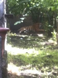 tigre-napoli