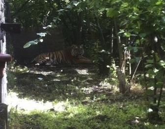 Tigre scappa dal circo, paura a San Giuseppe Vesuviano