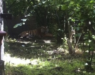 tigre-napoli1