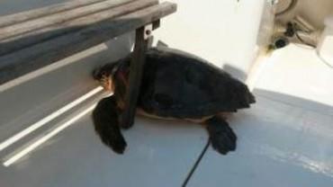 Tartaruga salvata tra Capri e Punta Campanella