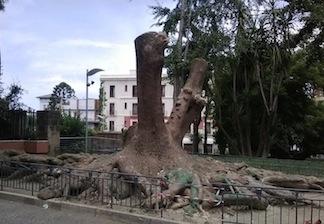 Decapitata la storica Fitolacca di piazza Lauro