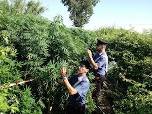 Scoperte sul Faito oltre 2mila piante di marijuana – video –