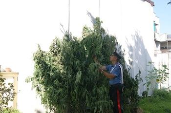 Una piantagione di marijuana scoperta a Vico Equense