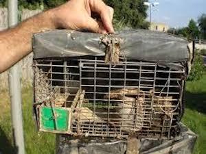 Blitz anti bracconaggio tra Sorrento e Ischia, liberati 100 uccelli