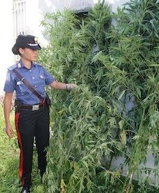 Ancora una piantagione di marijuana scoperta a Vico Equense