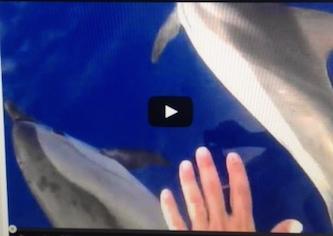 Lo spettacolo dei delfini nel Golfo di Napoli -Video-