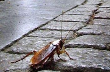 Allarme scarafaggi nel centro di Piano di Sorrento