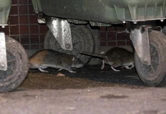 Topi nella stazione della Circum di Sant'Agnello
