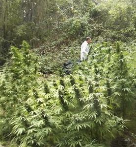 Contadini complici degli spacciatori: la marijuana coltivata nelle colline di Sorrento
