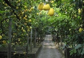 """La Campania punta sul limone di Sorrento con il progetto """"PIL"""""""