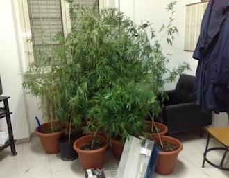Una piantagione di marijuana scoperta a Torca in un casolare abbandonato