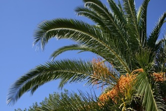 Controlli sulle palme a Meta: due affette da punteruolo rosso