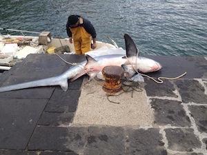 Squalo nella rete dei pescatori di Marina Grande