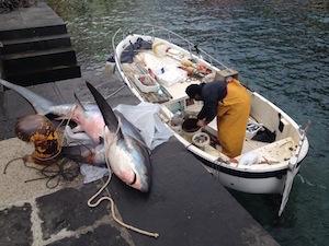 Denunciato il pescatore dello squalo volpe di Marina Grande
