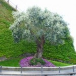 ulivo-piazza-balsamo