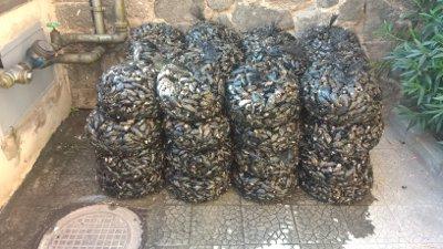 500 chili di cozze sequestrate in Provincia di Napoli
