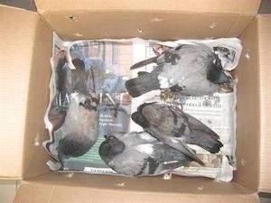 Strage di piccioni a piazza Veniero