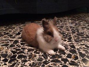 Coniglio nano smarrito a Sorrento, ricompensa per chi lo ritrova