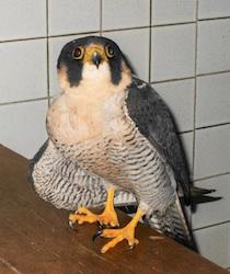 Falco pellegrino ferito da bracconieri a Sorrento