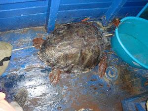 Tartaruga intrappolata nelle reti salvata dal Parco di Punta Campanella