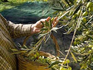 Il Premio Sorrento nel Mondo agli olivicoltori della penisola