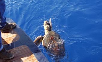 Nel mare della costiera salvate sei tartarughe in sei giorni