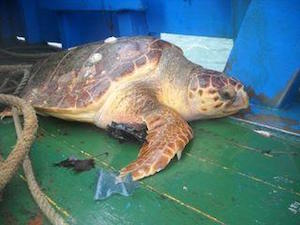 Tornano in mare due tartarughe salvate a Punta Campanella