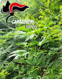 Piantagione di marijuana sui Monti Lattari, distrutte 400 piante