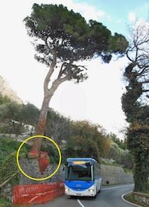 Salvo il pino secolare simbolo dell'Amalfitana