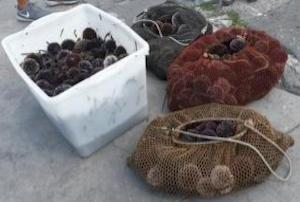 Pescatori di ricci di mare pizzicati dalla Finanza in costiera sorrentina