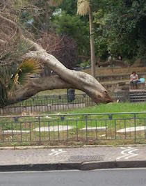 Un albero si schianta lungo i viali di piazza Lauro