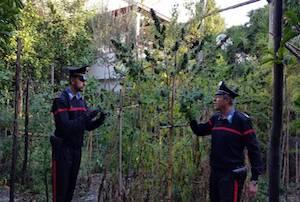 Cannabis tra i limoni, arrestato giardiniere di Piano di Sorrento
