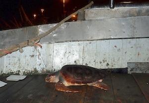 Gli operatori di Punta Campanella soccorrono tartaruga a Salerno