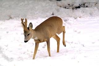 """Gli ambientalisti: """"Troppo gelo e neve, sospendere la caccia"""""""