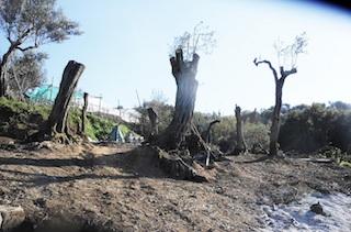 Ulivi secolari distrutti per realizzare resort di lusso a Massa Lubrense
