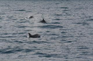 Delfini giocano intorno allo scoglio del Vervece nel Parco di Punta Campanella – video –