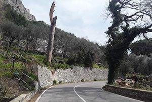 Vento forte, si schianta il pino simbolo della Statale Amalfitana