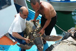 Tartaruga gigante salvata dagli operatori del Parco di Punta Campanella