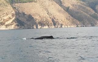 Un capodoglio avvistato tra Punta Campanella e Capri – video –