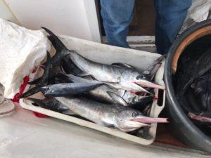 Pesce spada sottomisura, sequestri e multe a Piano di Sorrento